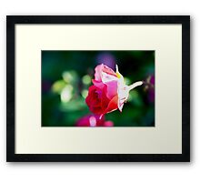 Beauty of the Rose Framed Print