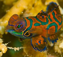 Mandarin Fish, Kimbe Bay, Papua New Guinea by Erik Schlogl
