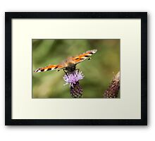 Small Tortoiseshell butterfly feeding Framed Print