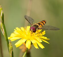Hoverfly on Daisy by Ashley Beolens
