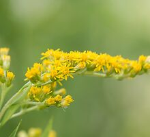 Yellow Flowers by Ashley Beolens