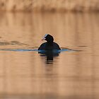 Coot in Golden Light by Ashley Beolens