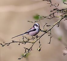 Long-tailed tit by Ashley Beolens