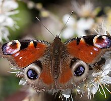 Peacock Butterfly by Ashley Beolens