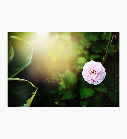 Nature background with flower of rose Photographic Print