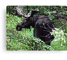 Bull Moose Algonquin Canvas Print