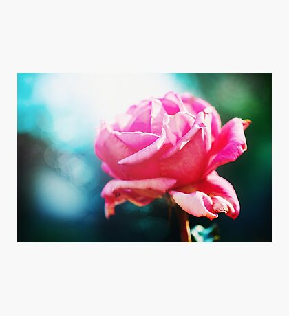 Pink rose flower close up Photographic Print