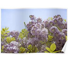 Lavender Wisteria with Apple Green Leaves  Poster