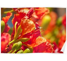Poinciana blossoms  Poster