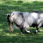 Ya Old Goat by Loree McComb