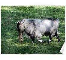 Ya Old Goat Poster