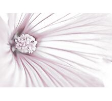 Lavatera Flower Stamen Macro  Photographic Print
