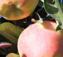 Apples Ready Sticker