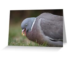 A Woodpigeon (Columba palumbus) eating some seed from the grass. Greeting Card