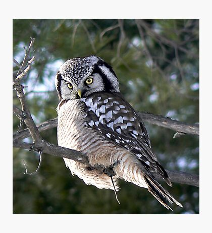 The look ~ Northern Hawk Owl Photographic Print