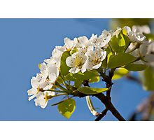 Pear Blossom Photographic Print