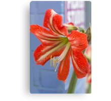 Tania's Happy Hippy plants - Hippeastrum Canvas Print