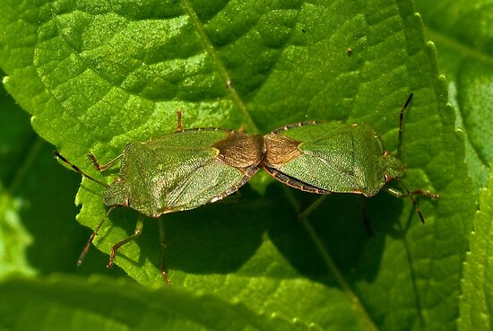 Green Shield Bug Mating by Kawka