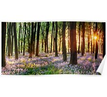 Bluebell woods in early morning sunrise Poster
