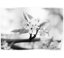 tranquil apple blossoms~ Poster
