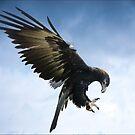 wedgetail eagle II by carol brandt