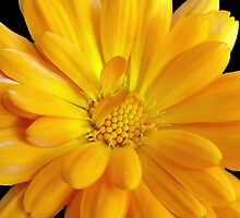 Macro Marigold by Lynn Bolt