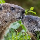 Mom and baby Woodchuck  by Rob Lavoie