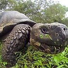 Galapagos tortoise by Michael Stiso