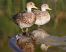 Yellow Billed Pintail by Dennis Cheeseman