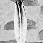 Black and White Lily Bud by Avril Harris