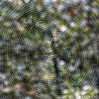 Web of an Orb Weaver by ChuckBuckner