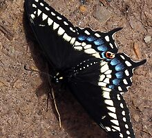 Butterfly - Black Swallowtail by BonnieToll