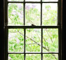 Lavender and Green Lilacs Through Antique Barn Window  by BrookeRyanPhoto