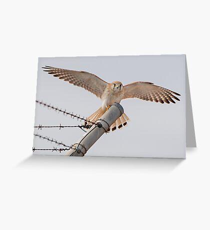 Nankeen Kestrel Landing on a Fence Pole Greeting Card