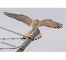Nankeen Kestrel Landing on a Fence Pole Photographic Print