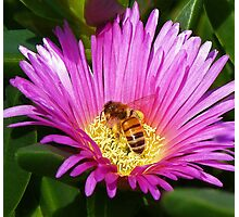 Bee Collecting Pollen On Pigface Flower Photographic Print