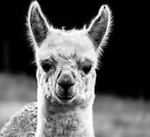 Baby Alpaca by Josie Jackson