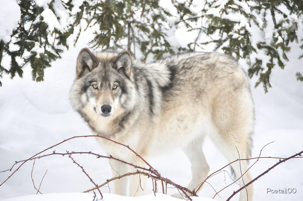 Dream Wolf.... by Poete100