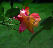 Raindrops on Sunrise Rose by rawilliams