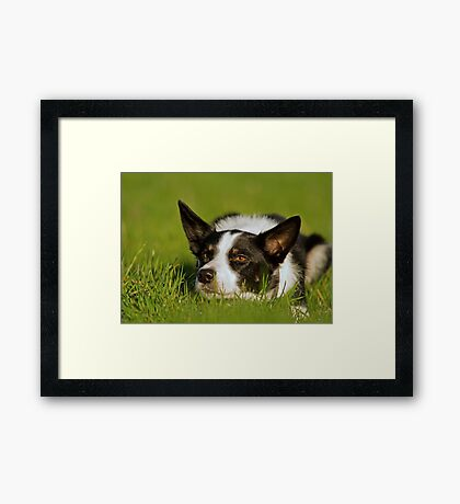 Crouching Collie Framed Print