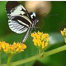 Milkweed Butterfly by Jason Pepe
