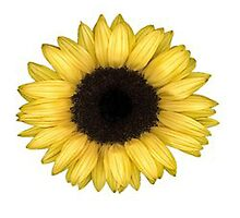 Sunflower by stephcheydesign
