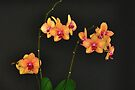 ORCHID 1083 (GREETING CARD ONLY) by Thomas Barker-Detwiler