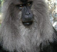 Lion-tailed Macaque 2 by Margaret Saheed