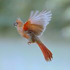 Cardinal in flight by Laurie Minor