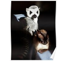 Tonkinese With Companion Poster