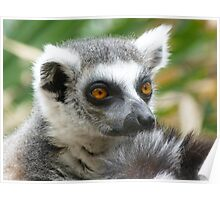 Thoughtful Ring-tailed Lemur Poster