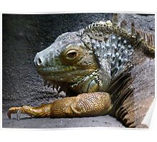 Common Iguana Relaxing Poster