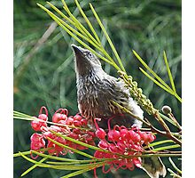 Little Wattlebird Photographic Print