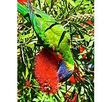 Rainbow Lorikeet And Crimson Bottlebrush Photographic Print